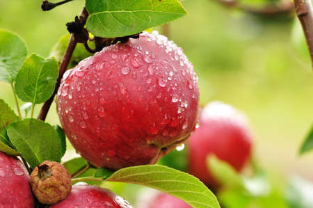 apple tree:  A Ripe Red Apple Covered with Raindrops