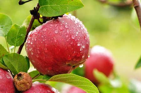 arbol de manzanas: Una manzana madura roja cubierta de gotas de lluvia Foto de archivo
