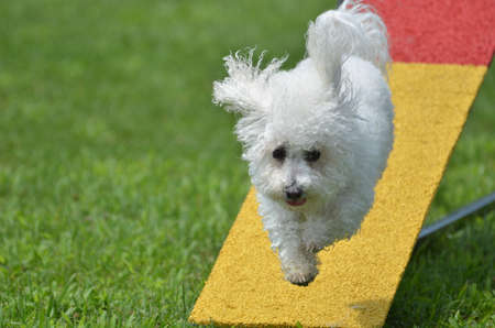 Bichon Frise Leaping Off a Teeter-Totter at a Dog Agility Trial