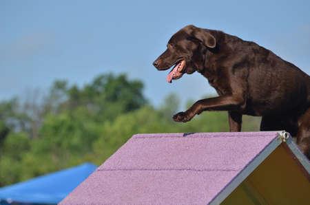 agility dog: Chocolate Labrador Retriever Climbing an A-frame at a Dog Agility Trial