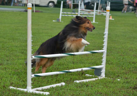 agility: Shetland Sheepdog  Sheltie  Leaping Over a Jump at a Dog Agility Trial Editorial