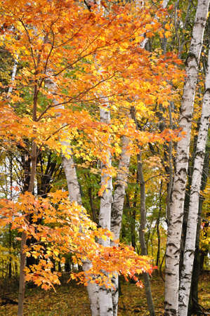 カエデの葉、バーチの木秋を色します。 写真素材