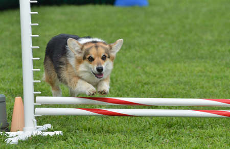 dog agility: Tricolor Pembroke Welsh Corgi Leaping Over a Jump at a Dog Agility Trial