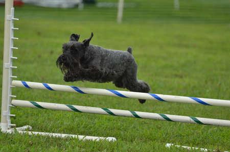 miniature breed: Schnauzer miniatura negro saltando sobre un salto a una versión de prueba la agilidad del perro Editorial