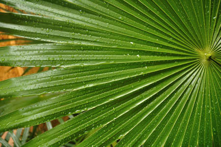 palmate: C Lose up of Tropical Palmate Palm Leaf with Drops of Rain