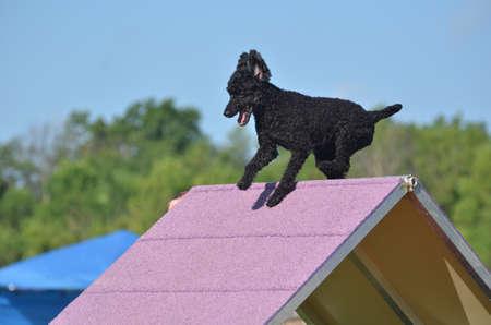 Black Dwergpoedel Klimmen een A-frame op een Dog Agility Trial Redactioneel