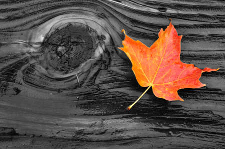 Colorful Maple Leaf on Wet Log with Moss in Fall Imagens