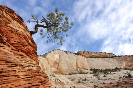 zion: Pine  Pinyon  Tree on top of a Sandstone Formation in Zion National Park