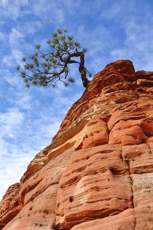zion: Pine  Pinyon  Tree Growing on a Sandstone Formation in Zion National Park