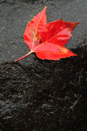 Red Maple Leaf on Wet Rock in the Fall Zdjęcie Seryjne