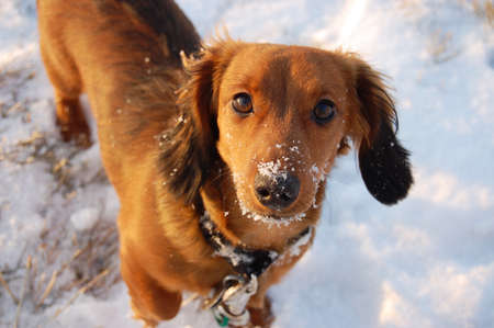Red Miniature Dachshund on the Snow During the Winter Zdjęcie Seryjne