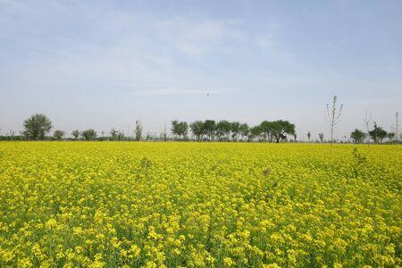canola: canola flowers field