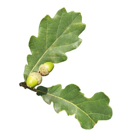 Two sheets of an oak and two acorns on a white background close up is isolated photo
