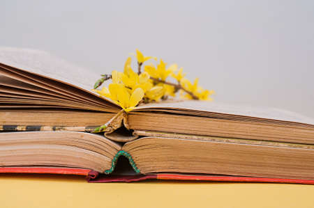 small yellow blooming forsythia flowers on open old books with battered leaves