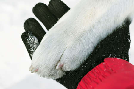 Friendship of man and dog. A large paw of a dog of the Alabai breed is white wool with claws on a human hand in a glove and in the snow.