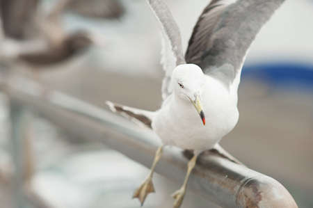 Seagulls near the sea and ship in the natural environment. Competition between gulls for food. White feathered bird with a yellow beak close-up in the open air.