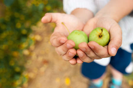 Apple harvest, two small green apples in the hands of a farmer 스톡 콘텐츠