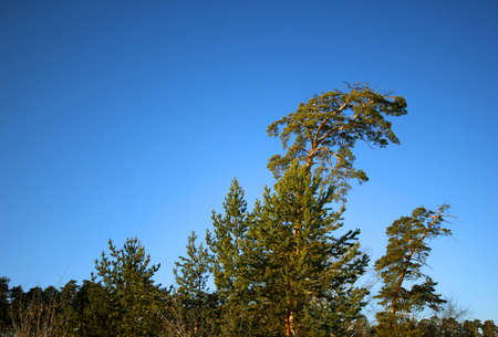 siberian pine: Lonely pine in the Siberian taiga against the blue sky Stock Photo