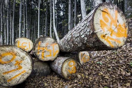 sawn: sawn logs in a forest