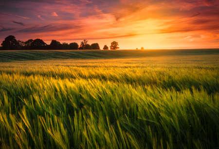 field and sky: Puesta de sol sobre un campo de trigo Foto de archivo