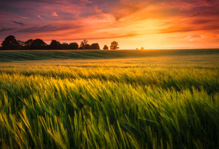 red sunset: Sunset over a wheat field