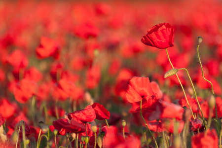 remembrance day poppy: Poppies in a field Stock Photo