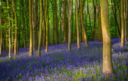Ancient bluebell woods in Oxfordshire photo