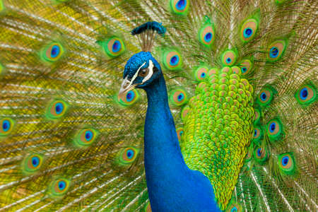 Peacock displaying his fine feathers photo