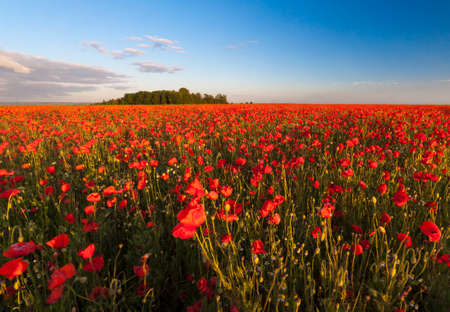 Back lit poppies in a field with blue sky above photo