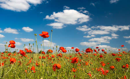 A field of bright, red poppies under blue skyies