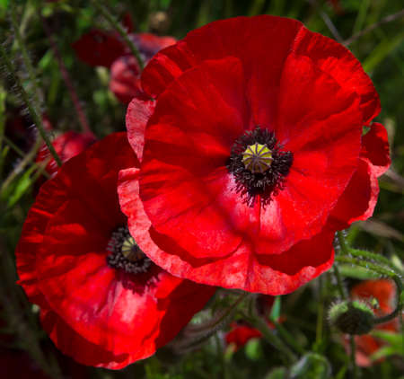A field of bright, red poppies photo