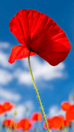 A field of bright, red poppies against a blue sky photo