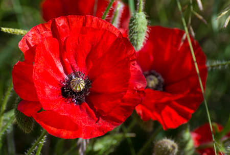 A field of bright, red poppies Stock Photo
