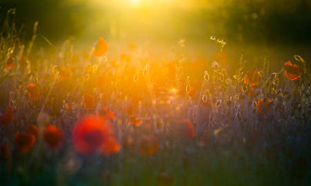 A field of bright, red poppies in a field under a setting sun photo