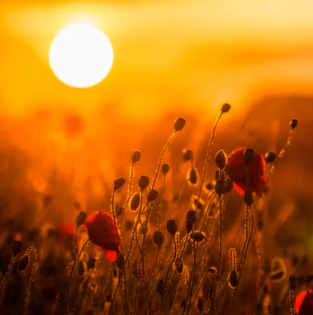 A field of red poppies at sunset with the sinking sun seen in the distance photo
