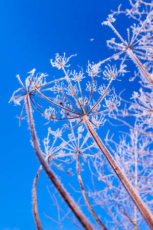 hoar: A hoar frost has coated Cow Parsley heads with spiky ice crystals which reflect the sunlight