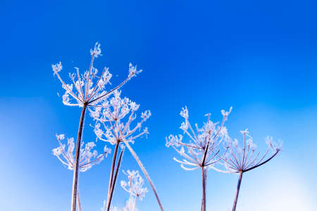 A hoar frost has coated Cow Parsley heads with spiky ice crystals which reflect the sunlight