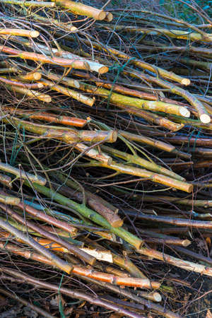 boles: Woodland management of coppices produces piles of fresh cut branches and sticks used for fencing Stock Photo