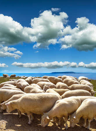 dorset: A sheepscape high on the hils of Ringstead near Wymouth in Dorset