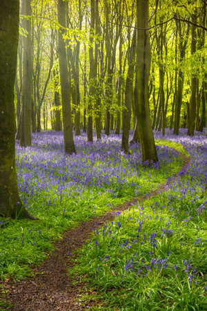 The sun illuminates a carpet of blue and purple bluebells deep in woodland in Oxfordshire Stock Photo