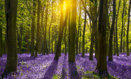 The sun illuminates a carpet of blue and purple bluebells deep in woodland in Oxfordshire Stok Fotoğraf