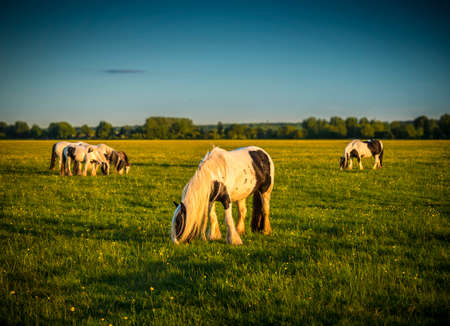 ponies: Piebald ponies on Port Meadow in Oxfordshire