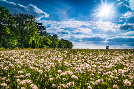 bask: A huge field of white poppies tinged with pink bask in the strong sunlight
