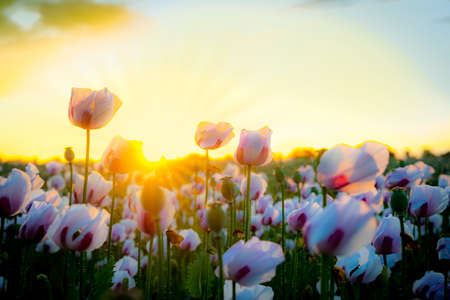 afterglow: As the sun goes down a million white poppies bask in the afterglow