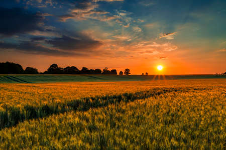 The sun sets over a green and gold, flowing crop of wheat or barley on a farm on a hill in England. The thin clouds are illuminated by the sun in red, orange, gold