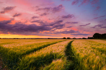 farm landscape: The sun sets over a green and gold, flowing crop of wheat or barley on a farm on a hill in England. The thin clouds are illuminated by the sun in red, orange, gold