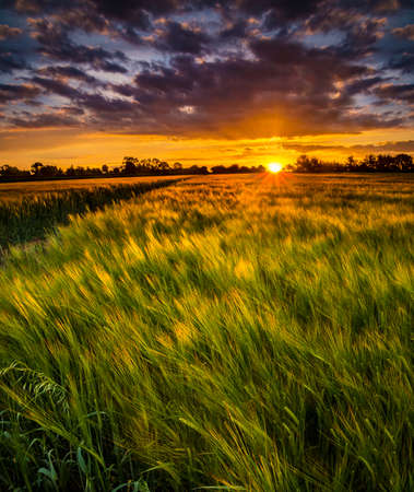 harvest field: The sun sets over a green and gold, flowing crop of wheat or barley on a farm on a hill in England. The thin clouds are illuminated by the sun in red, orange, gold
