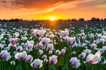 bask: As the sun goes down a million white poppies bask in the afterglow