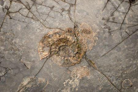 dorset: Several Ammonites in Dorset rocks on the Shoreline