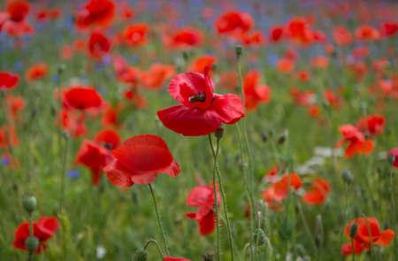 iluminado a contraluz: amapolas de color rojo oscuro y flores silvestres en inglés en un campo en el sur de Inglaterra sunlit por el sol del verano Foto de archivo